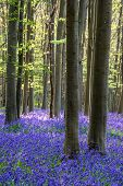 picture of harebell  - Beautiful landscape of Spring bluebells in forest - JPG