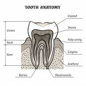 foto of molar tooth  - Illustration of tooth anatomy drawn in retro style - JPG