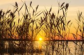 picture of bulrushes  - Reed on the lake on a background of a colorful sunset - JPG