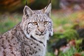 pic of bobcat  - The Eurasian lynx (Lynx lynx) is a wild cat in Europe and Siberia. ** Note: Soft Focus at 100%, best at smaller sizes - JPG