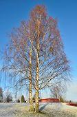 picture of birching  - Winter in Finland - JPG