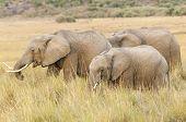 Постер, плакат: Herd Of African Bush Elephants