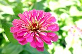 image of zinnias  - pink zinnia flower in garden under sunshine