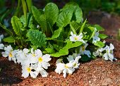 picture of primrose  - Blooming primrose with large white flowers in the flowerbed - JPG