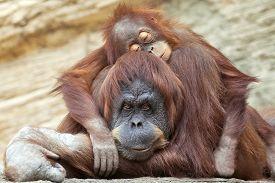 image of orangutan  - A young orangutan is sleeping on its mother - JPG