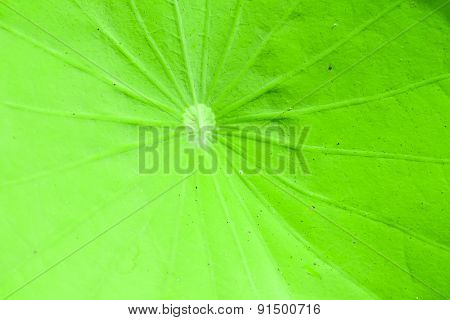 Fresh Green Lotus Leaf Background