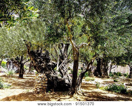 Olives Trees In The Garden Of Gethsemane, Jerusalem.