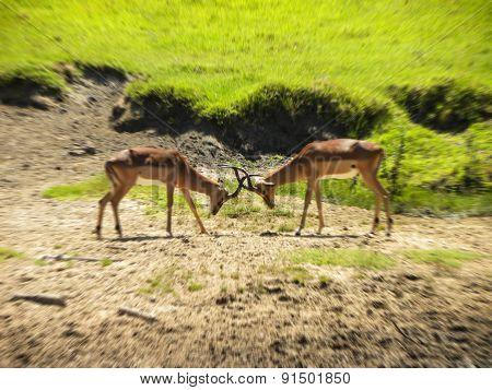 Springbok males fighting