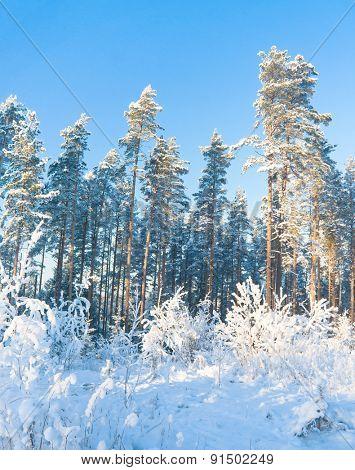 Frozen Woods Cold Sunshine