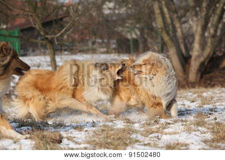 Scotch Collies Playing In Winter