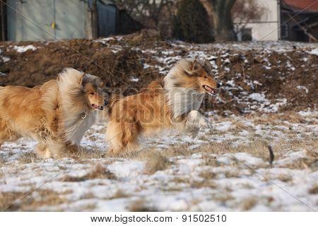 Scotch Collies Running In Winter