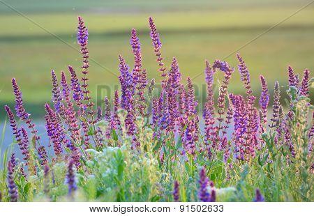 Violet Summer Flowers