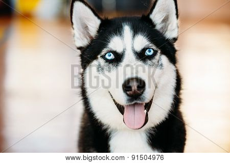 Close Up Head Young Happy Husky Puppy Eskimo Dog, Blue Eyes