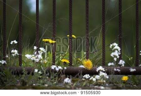 Flowers By Rusty Metal Fence