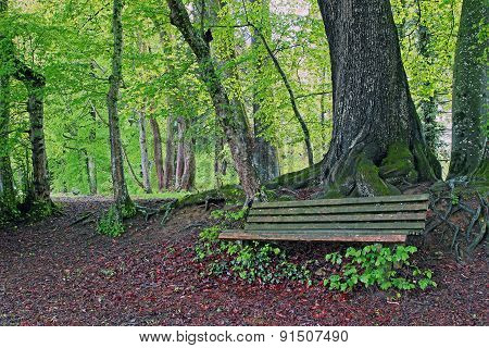 Rustic Bench In The Beech Forest