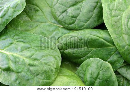 fresh spinach leaves background