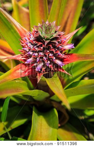 Pine Apple Fruit Plant In Close Up