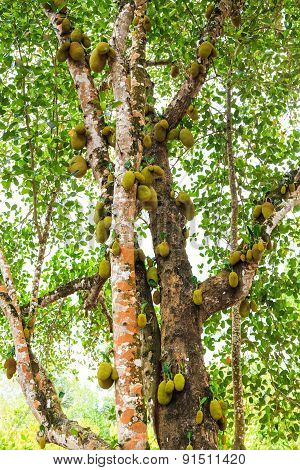 Big Jackfruit Growing On The Trunk  Of A Tree
