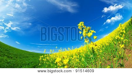 canola field background with a blue sky