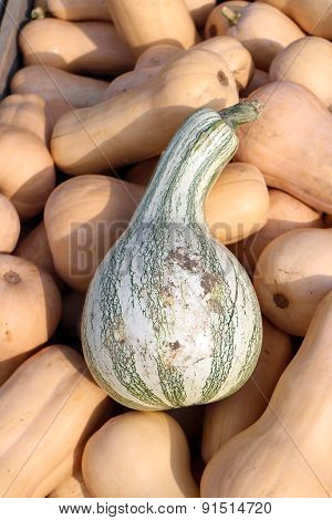 Delicata Crook Neck Squash