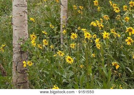 Wild Flowers and Aspens