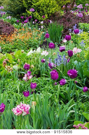 Flowerbed With Tulips, Allium, Bluebells And Shrubbery