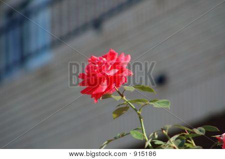 Rosa Of October