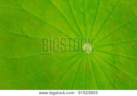Texture Of Lotus Leaves