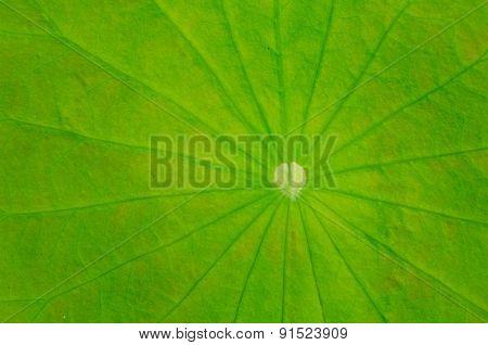 Texture Of Lotus Leaves