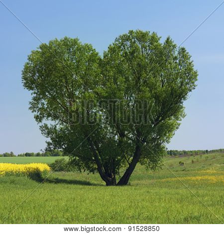 Tree in the form of a heart. Willow in the field