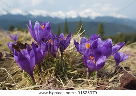 Blooming crocuses in the mountains. Spring landscape with flowers. Beauty in nature
