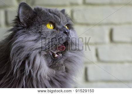 Grey cat licking her face