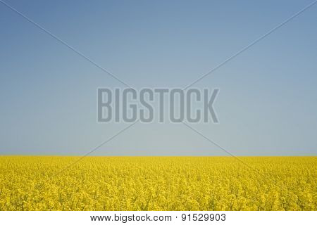 Blooming canola field against the blue sky. Sunny summer day