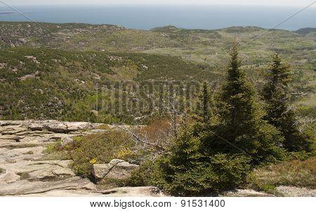 Pine Trees On The Rocky Maine Coast