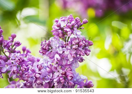 Purple Lilacs Blooming