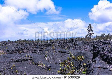 Vegetation on the lava field, Hawaii