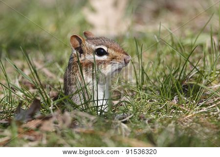 Eastern Chipmunk Poking Its Head Out Of A Hole
