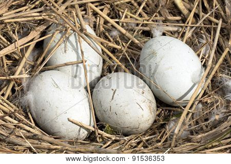 Swans Eggs In A Nest.