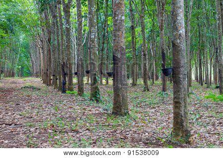 Row of para rubber tree