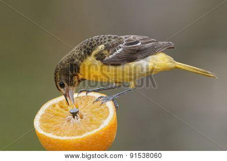 Female Baltimore Oriole Feeding On An Orange