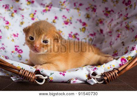 little abyssinian kitten in a basket