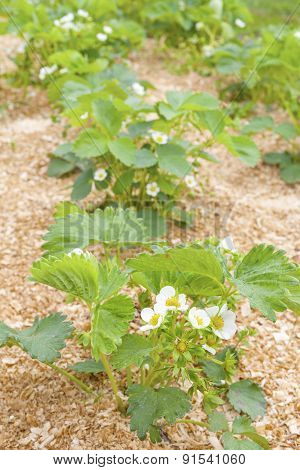 Strawberry Cultivation On Sawdust.