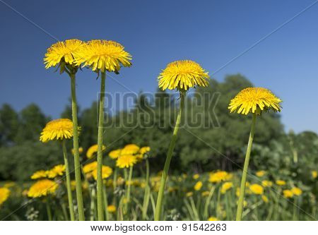 Dandelions Close-up.