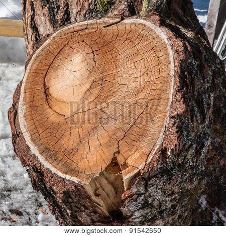 Round Annual Rings On Pine Bark Tree Wood