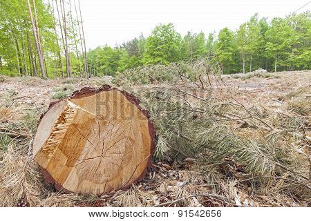 Tree Stump On Felled Forest.