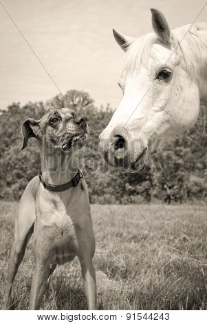 Great Dane and Arabian horse nose to nose