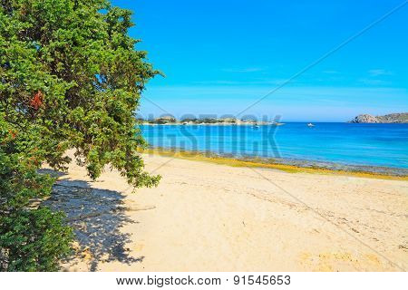 Pine Tree By The Shore In Capo Testa
