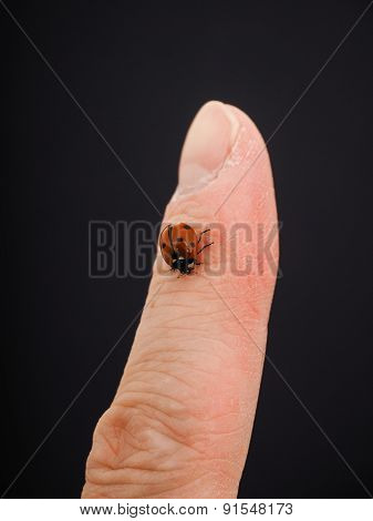 Ladybird Walking Downwards On A Finger Isolated Towards Black Background