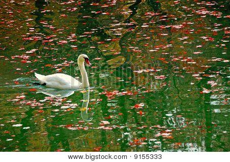 Swan In Autumn Pond
