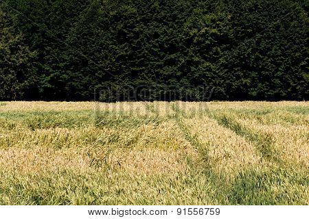 Field With A Crop